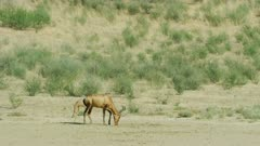 Red hartebeest (Alcelaphus buselaphus caama) with foal, wide