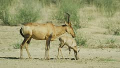 Red hartebeest (Alcelaphus buselaphus caama) with foal, medium