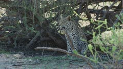 Young leopard (Panthera pardus) - sitting under tree, medium