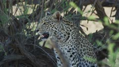 Young leopard (Panthera pardus) - sitting under tree, close