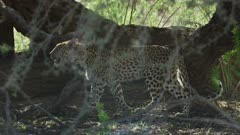 Young leopard (Panthera pardus) - walking through shadows under tree, medium