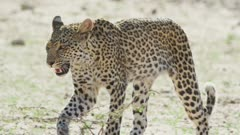 Young leopard (Panthera pardus) - walking toward camera