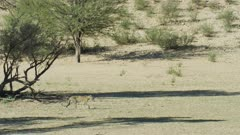 Young leopard (Panthera pardus) - walking across riverbed, wide