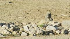 Leopard (Panthera pardus) - drinking from waterhole