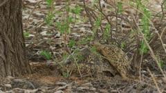Leopard tortoises (Stigmochelys pardalis) mating - wide