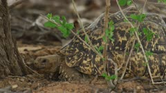 Leopard tortoises (Stigmochelys pardalis) mating - close of female