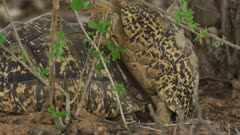 Leopard tortoises (Stigmochelys pardalis) mating - close