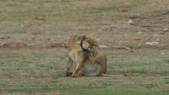 Lion (Panthera leo) - female annoyed by tracking collar