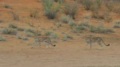 Cheetah (Acinonyx jubatus) - mother and cub walking, wide