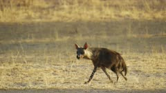 Brown hyena (Hyaena brunnea) - walking, medium