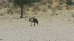 Brown hyena (Hyaena brunnea) - walking through frame, wide