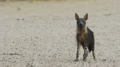 Brown hyena (Hyaena brunnea) - walks to waterhole, medium close