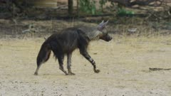Brown hyena (Hyaena brunnea) - walking away, medium