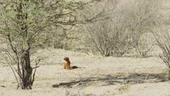 Slender mongoose (Galerella sanguinea) foraging, wide