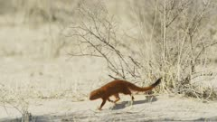 Slender mongoose (Galerella sanguinea) foraging, medium wide