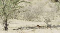 Slender mongoose (Galerella sanguinea) lying in shade, wide
