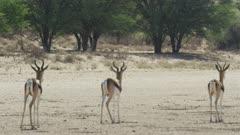 Springbok (Antidorcas marsupialis) - watching cheetah in distance, medium