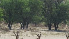 Springbok (Antidorcas marsupialis) - watching cheetah in distance, close