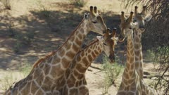 Giraffe (Giraffa giraffa) - group necking, close