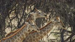 Giraffe (Giraffa giraffa) - group necking, from side, close