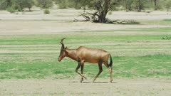 Red hartebeest (Alcelaphus buselaphus caama) walking, wide