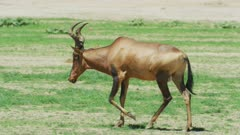 Red hartebeest (Alcelaphus buselaphus caama) walking, medium