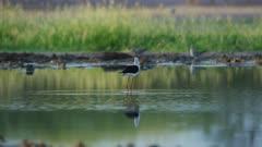 SFR588839 - Black-winged stilt - African wildlife lock shot - 4K Prores stabilised from 6K Raw source