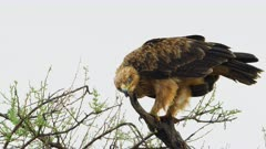 SFR588839 - Tawny eagle cleaning beak - African wildlife lock shot - 4K Prores stabilised from 6K Raw source