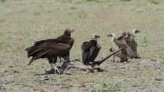 Vultures on Gemsbok carcass - Lappet-faced and White-backed vultures