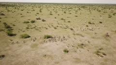 Zebra herd running - aerial, wide, pan then track