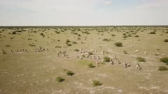 Zebra herd running - aerial, wide follow