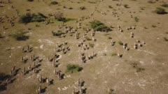 Zebra herd running - aerial, medium wide follow