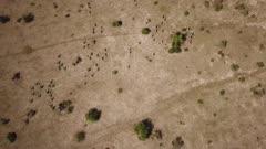 Zebra herd running - aerial, top down track, very wide