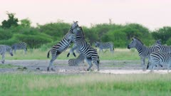 Zebras fighting - pair kicking each other then run into waterhole, medium wide - 6K R3D Raw also available