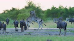 Zebras fighting - stallions biting amid wildebeest herd, medium wide - 6K R3D Raw also available