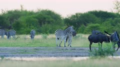 Zebras fighting - stallions biting move behind wildebeest herd, medium wide - 6K R3D Raw also available