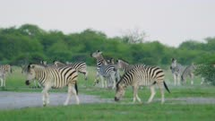 Zebras fighting - males in herd kicking, on green grass, wide - 6K R3D Raw also available