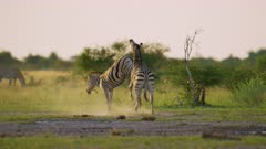 Zebras fighting - stallions biting legs, golden hour, medium wide - 6K R3D Raw also available