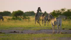 Zebras fighting - males biting, rearing, golden hour, medium wide - 6K R3D Raw also available