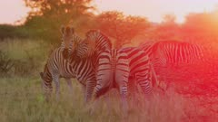Zebras fighting - stallions sizing each other up, sunset, medium - 6K R3D Raw also available