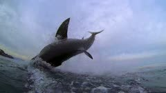 Great White Shark Breach in South Africa (water level)