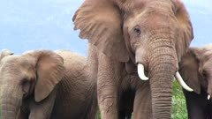 African elephants look at camera