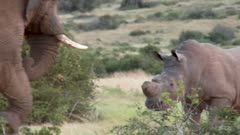 Elephant and Rhino face off