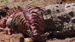 Nile crocodile feeds off antelope carcass