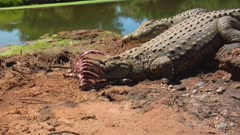 Nile crocodile chewing on carcass