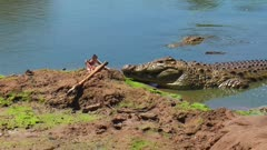 Nile crocodile drags carcass into waterhole