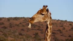 Giraffe chewing on large bone