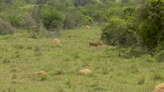 Lioness chases warthog