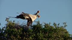 Pair of Secretary Birds on nest