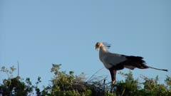 Secretary bird flies onto nest with other secretary bird